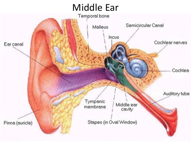 A P Of Ear