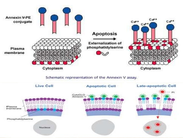 Apoptosis assays detection and methods
