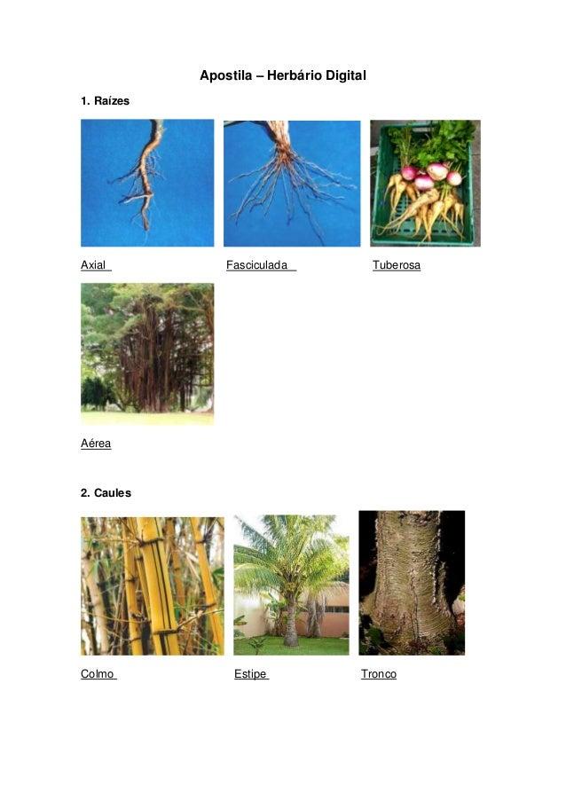 Apostila – Herbário Digital1. RaízesAxial           Fasciculada               TuberosaAérea2. CaulesColmo            Estip...