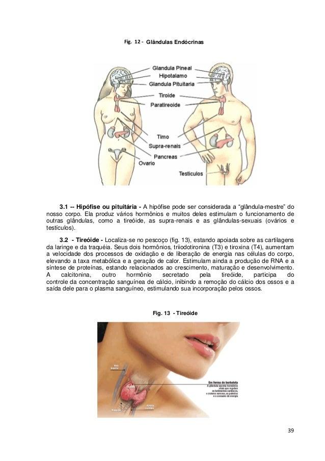"""39 Glândulas Endócrinas 3.1 -- Hipófise ou pituitária - A hipófise pode ser considerada a """"glândula-mestre"""" do nosso corpo..."""