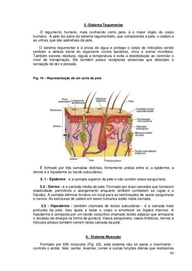 43 5 -Sistema Tegumentar O tegumento humano, mais conhecido como pele, é o maior órgão do corpo humano. A pele faz parte d...