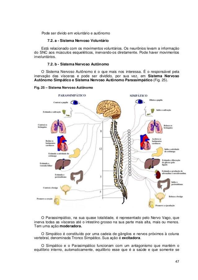 47 Pode ser divido em voluntário e autônomo 7.2. a - Sistema Nervoso Voluntário Está relacionado com os movimentos voluntá...