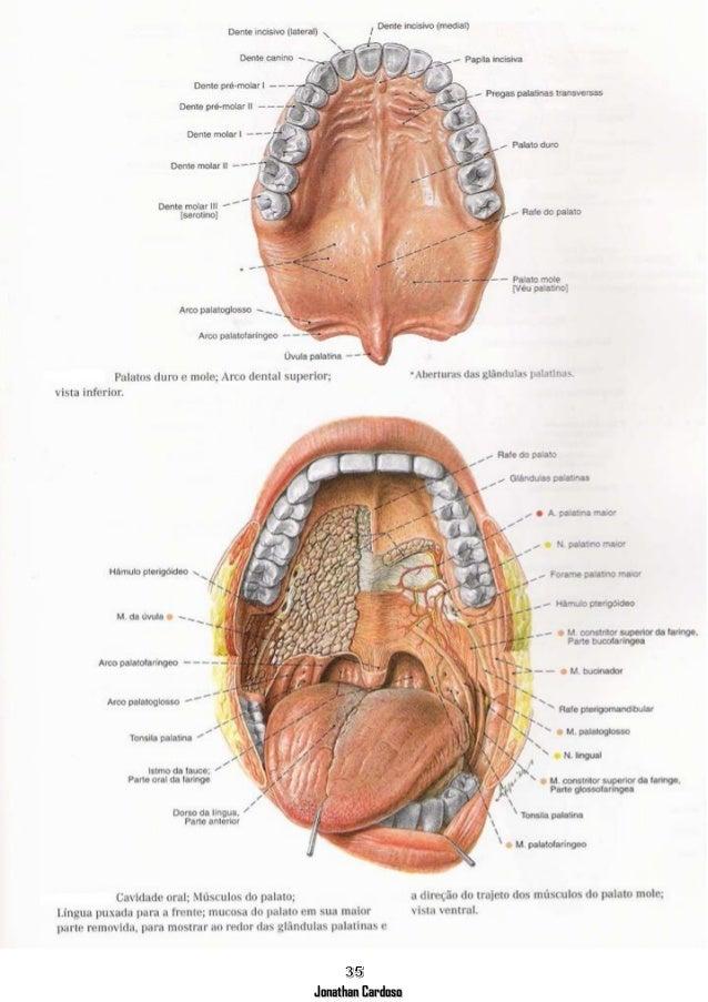 Apostila Anatomia Cabeça E Pescoço