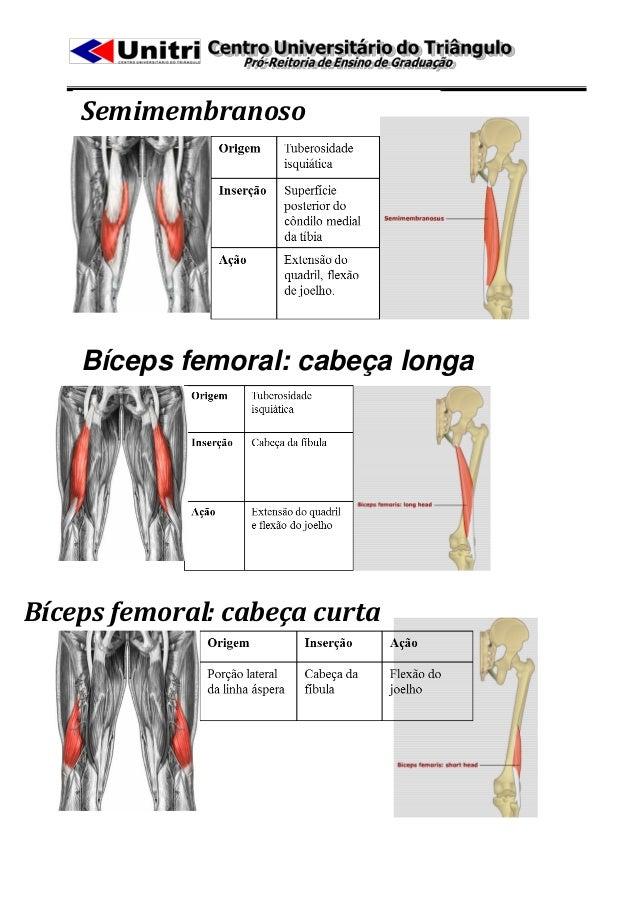 Semimembranoso    Bíceps femoral: cabeça longaBíceps femoral: cabeça curta