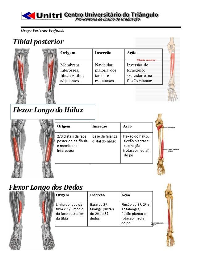 Grupo Posterior Profundo Tibial posterior Flexor Longo do HáluxFlexor Longo dos Dedos