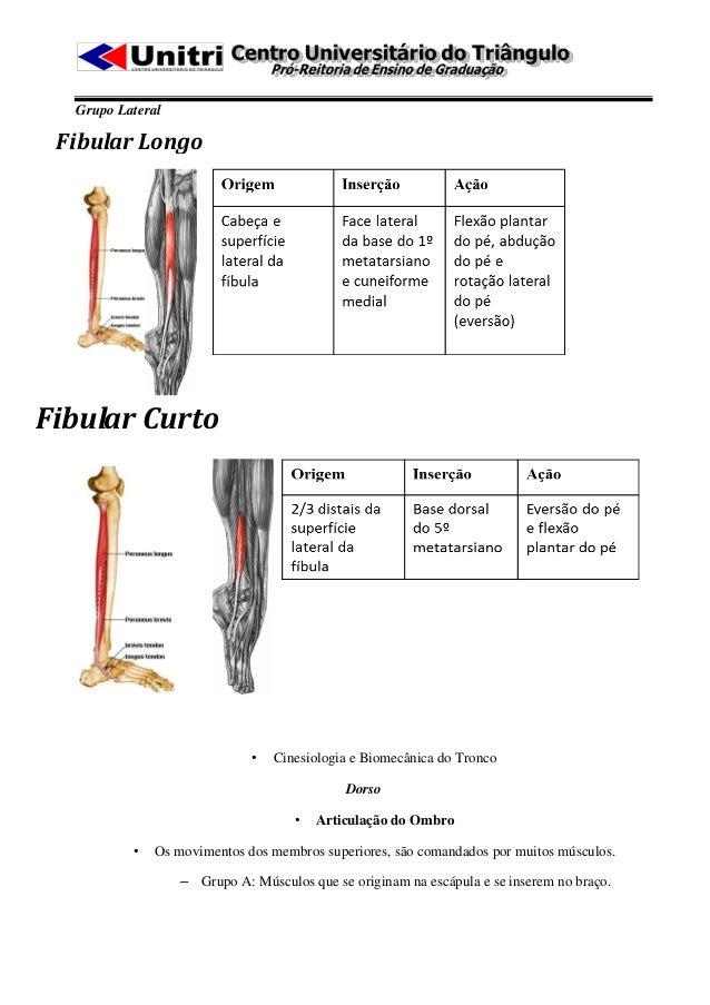 Grupo Lateral Fibular LongoFibular Curto                      Extensor dos2                             •   Cinesiologia e...