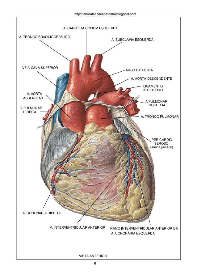 Perfecto Tronco Braquiocefálico Modelo - Imágenes de Anatomía Humana ...