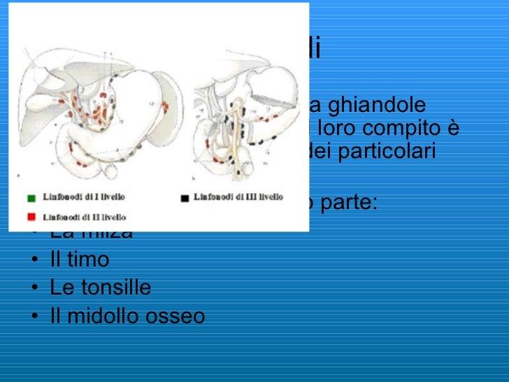 I linfonodi <ul><li>I linfonodi sono costituiti da ghiandole linfatiche a forma di nodi,il loro compito è filtrare la linf...
