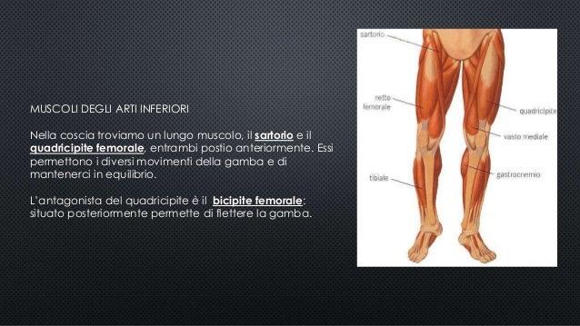 Apparato muscolare mazzotti pitingaro zannoli 4bc for Muscolo interno coscia nome