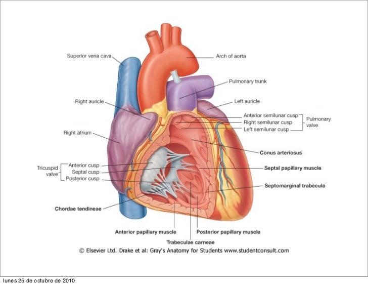 appareil cardio vasculaire rh slideshare net October in Spanish Octubre Clip Art