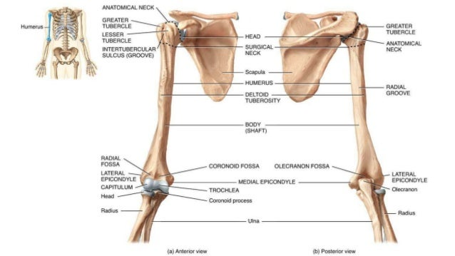 Appendicular Skeleton And Bone Features 1