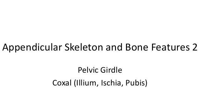 Appendicular Skeleton and Bone Features 2 Pelvic Girdle Coxal (Illium, Ischia, Pubis)