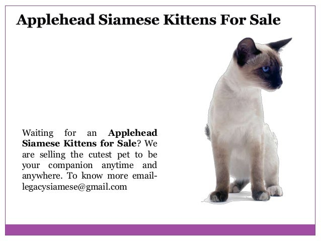 Applehead Siamese Kittens For Sale