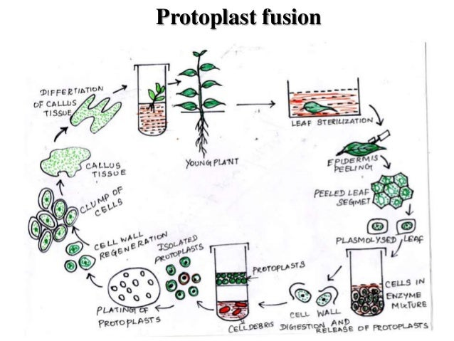 Plant Tissue Culture and Genetic Transformation for Crop Improvement