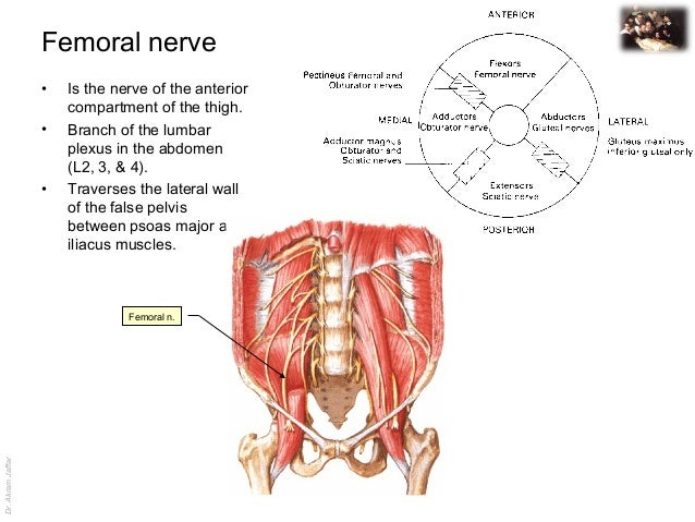 applied anatomy femoral nerve injury,