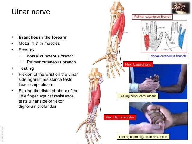 Dr.AkramJaffar Ulnar nerve • Branches in the forearm • Motor: 1 & ½ muscles • Sensory – dorsal cutaneous branch – Palmar c...