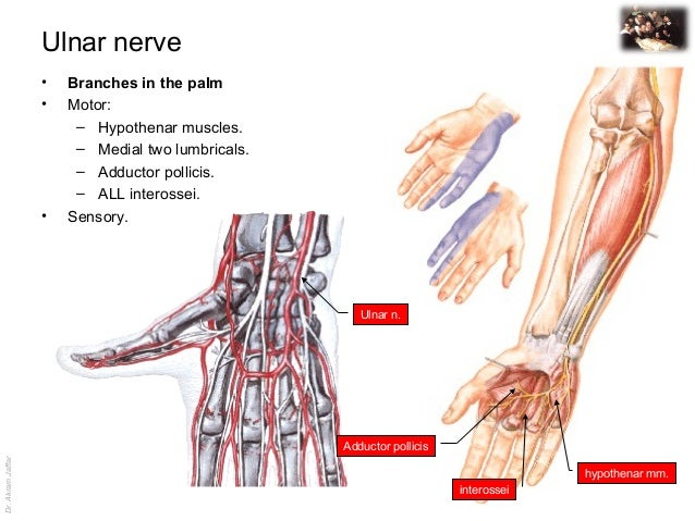 Dr.AkramJaffar Ulnar nerve • Branches in the palm • Motor: – Hypothenar muscles. – Medial two lumbricals. – Adductor polli...