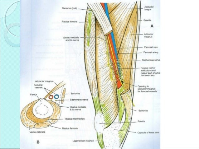 Applied Anatomy Of Adductor Canal And Popliteal Fossa