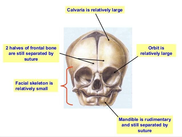Which Bones Form The Calvaria Erkalnathandedecker