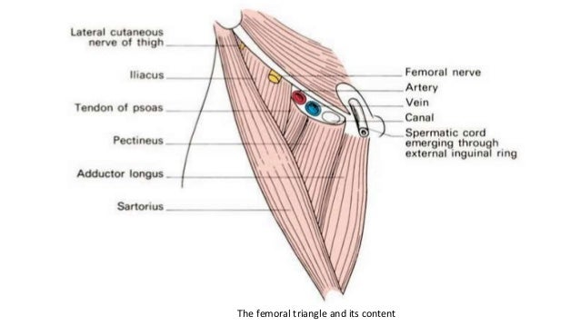 applied and clinical anatomy of lower limb, Muscles