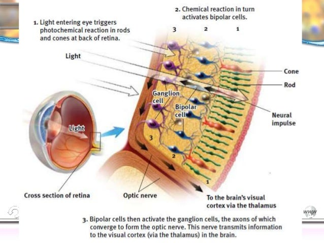 Eye diagram rods psych electrical work wiring diagram ap psych vision part 1 rh slideshare net eye chart diagram eye chart diagram ccuart Choice Image