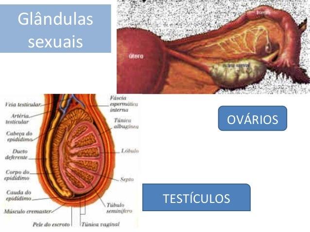 Glândulas sexuais  OVÁRIOS  TESTÍCULOS