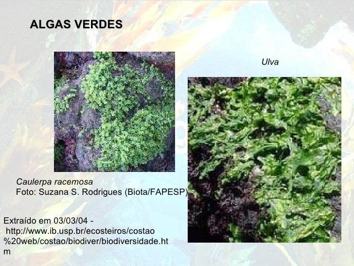 ALGAS VERDES Caulerpa racemosa   Foto: Suzana S. Rodrigues (Biota/FAPESP)...