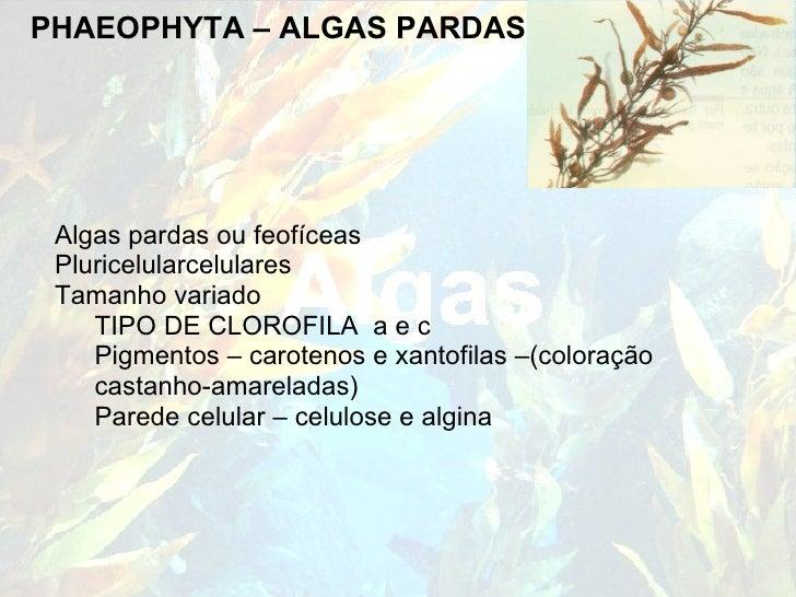PHAEOPHYTA – ALGAS PARDAS <ul><li>Algas pardas ou feofíceas </li></ul><ul><li>Pluricelularcelulares </li></ul><ul><li>Tama...