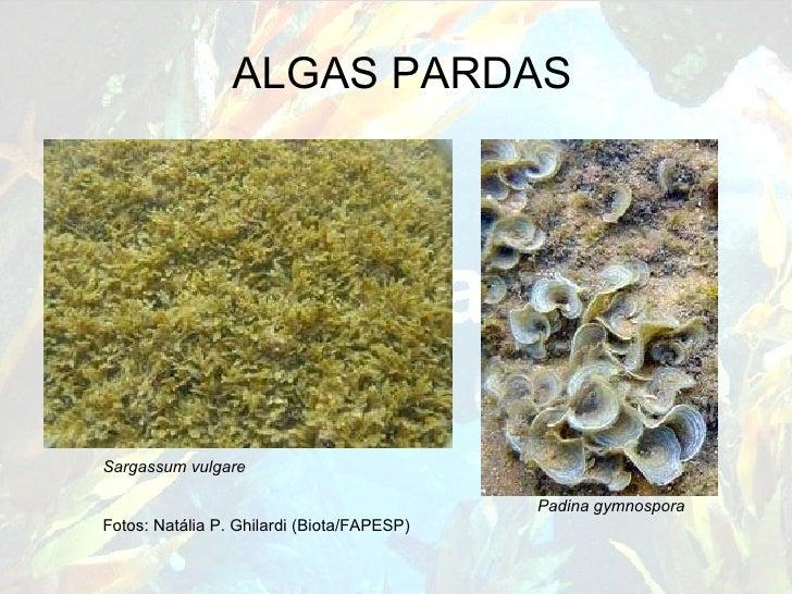 ALGAS PARDAS Sargassum vulgare     Padina gymnospora Fotos: Natália P. Ghilardi (Biota/FAPESP)