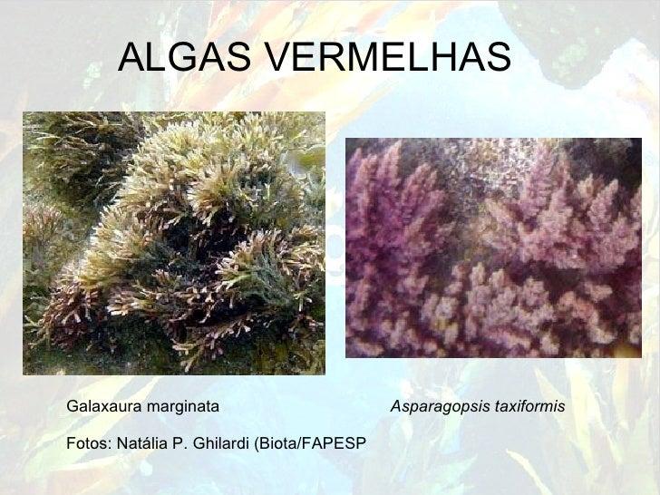 ALGAS VERMELHAS ) Galaxaura marginata    Asparagopsis taxiformis Fotos: Natália P. Ghilardi (Biota/FAPESP