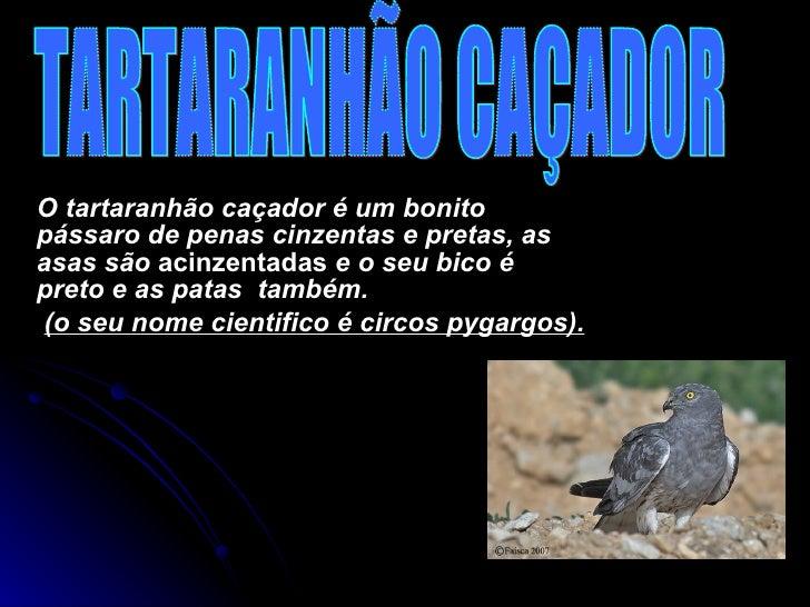 O tartaranhão caçador é um bonito pássaro de penas cinzentas e pretas, as asas são  acinzentadas  e o seu bico é preto e a...