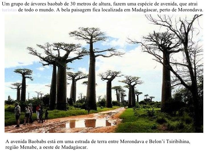 Um grupo de árvores baobab de 30 metros de altura, fazem uma espécie de avenida, que atrai  turistas  de todo o mundo. A b...