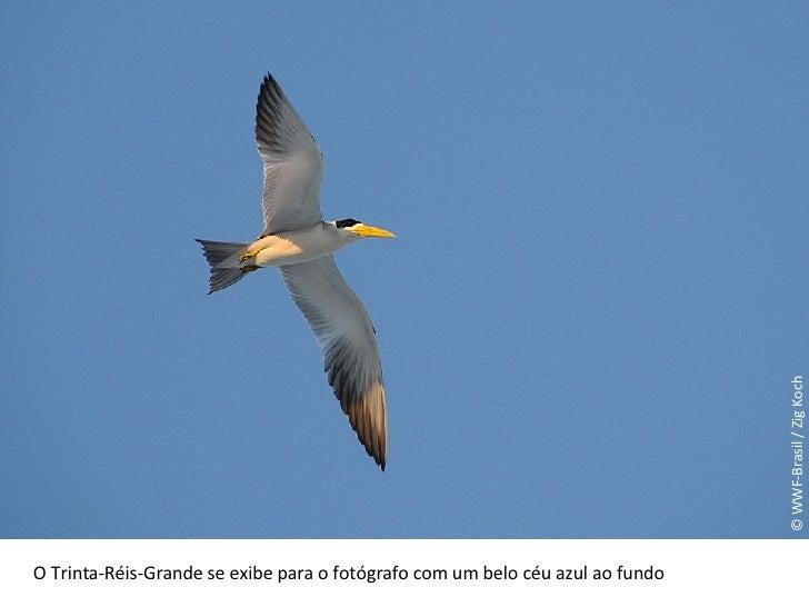 © WWF-Brasil / Zig Koch O Trinta-Réis-Grande se exibe para o fotógrafo com um belo céu azul ao fundo