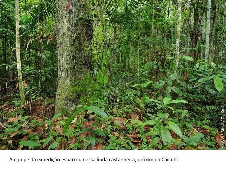 © WWF-Brasil / Zig Koch A equipe da expedição esbarrou nessa linda castanheira, próximo a Caicubi.