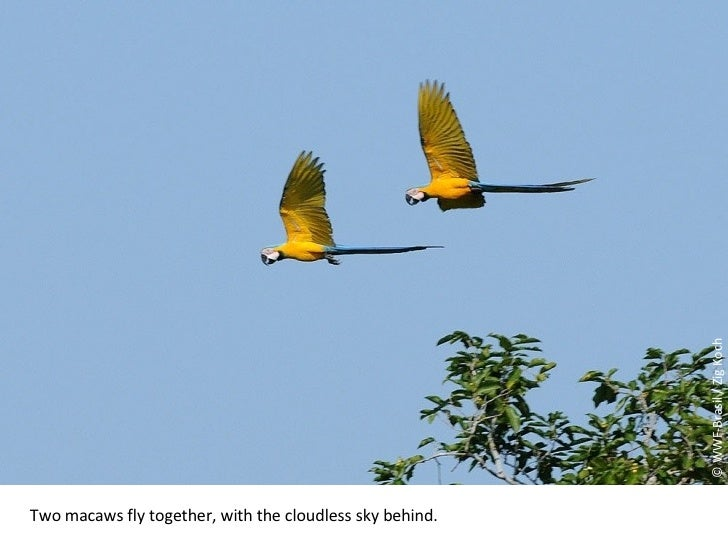 © WWF-Brasil / Zig Koch Two macaws fly together, with the cloudless sky behind.