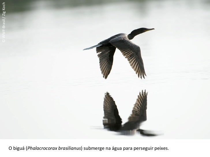 © WWF-Brasil / Zig Koch O biguá ( Phalacrocorax brasilianus ) submerge na água para perseguir peixes.