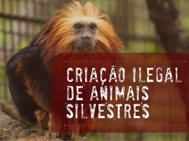 CRIAÇaOILEGAL DE ANIMAIS SILVESTRES