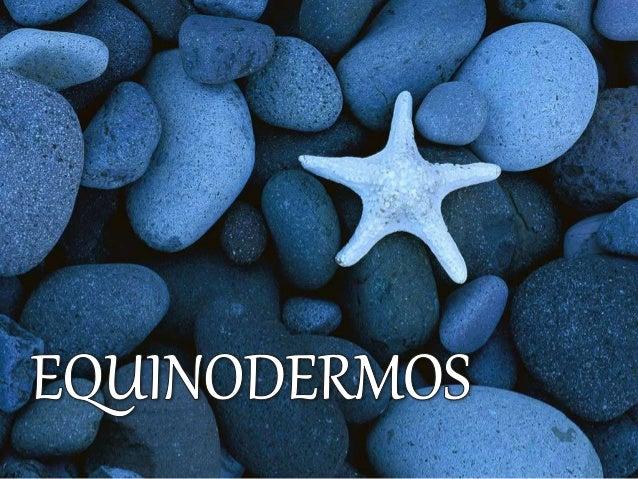  Os Equinodermos  Equino  Espinho,  Derme  Pele  Exclusivamente marinho;  Endoesqueleto;  Simetria pentarradial;