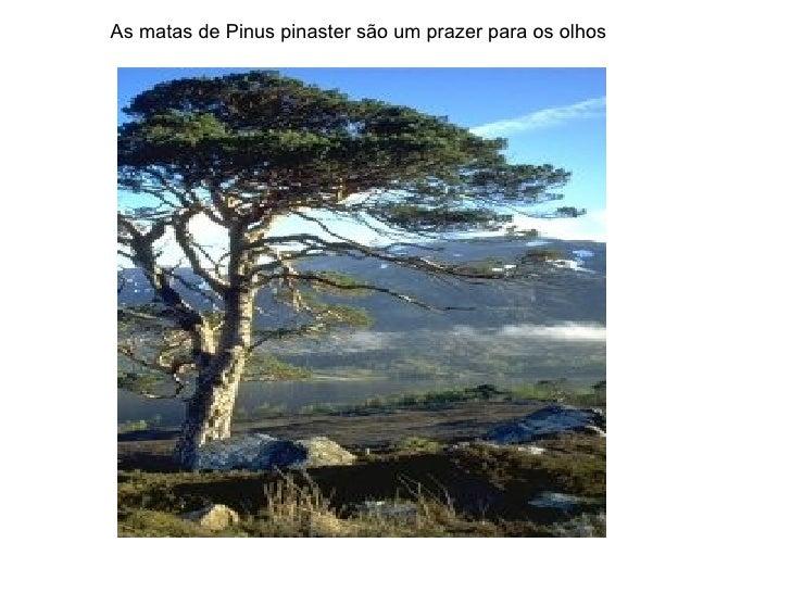 As matas de Pinus pinaster são um prazer para os olhos