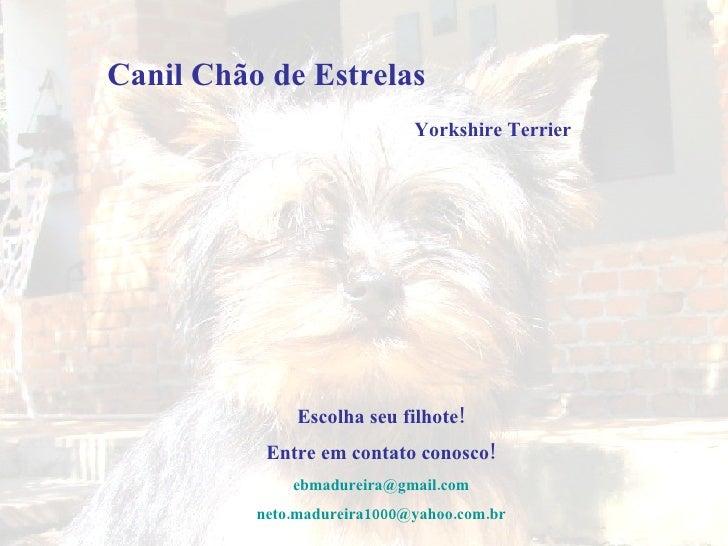 Escolha seu filhote! Entre em contato conosco! [email_address] [email_address] Yorkshire Terrier Canil Chão de Estrelas