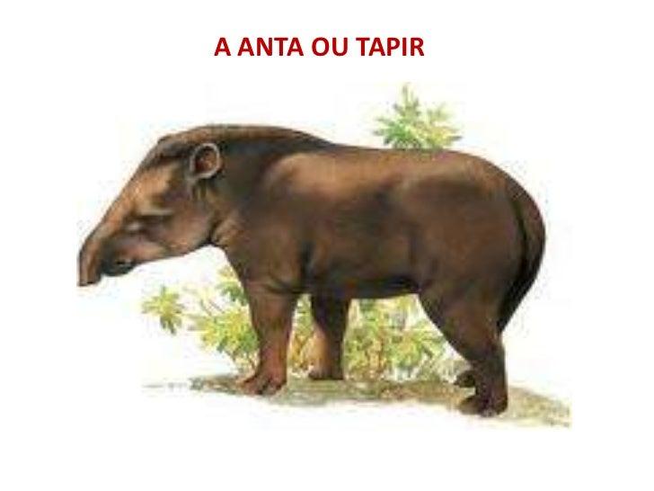 A ANTA OU TAPIR<br />
