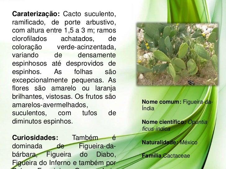 Caraterização: Cacto suculento,ramificado, de porte arbustivo,com altura entre 1,5 a 3 m; ramosclorofilados     achatados,...