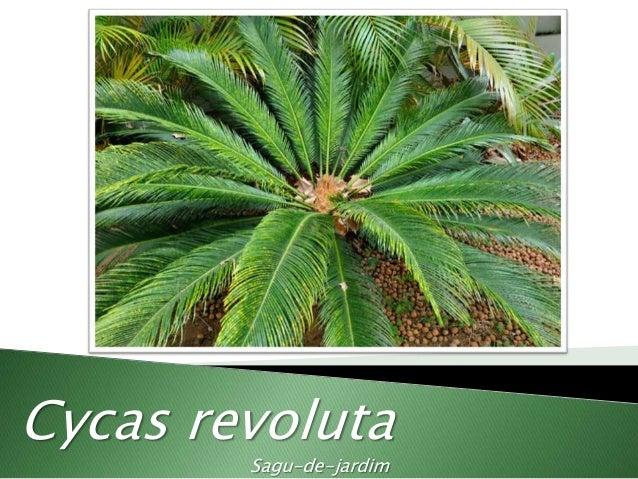 Cycas revoluta Sagu-de-jardim