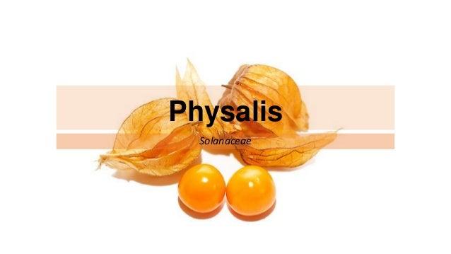 Physalis Solanaceae