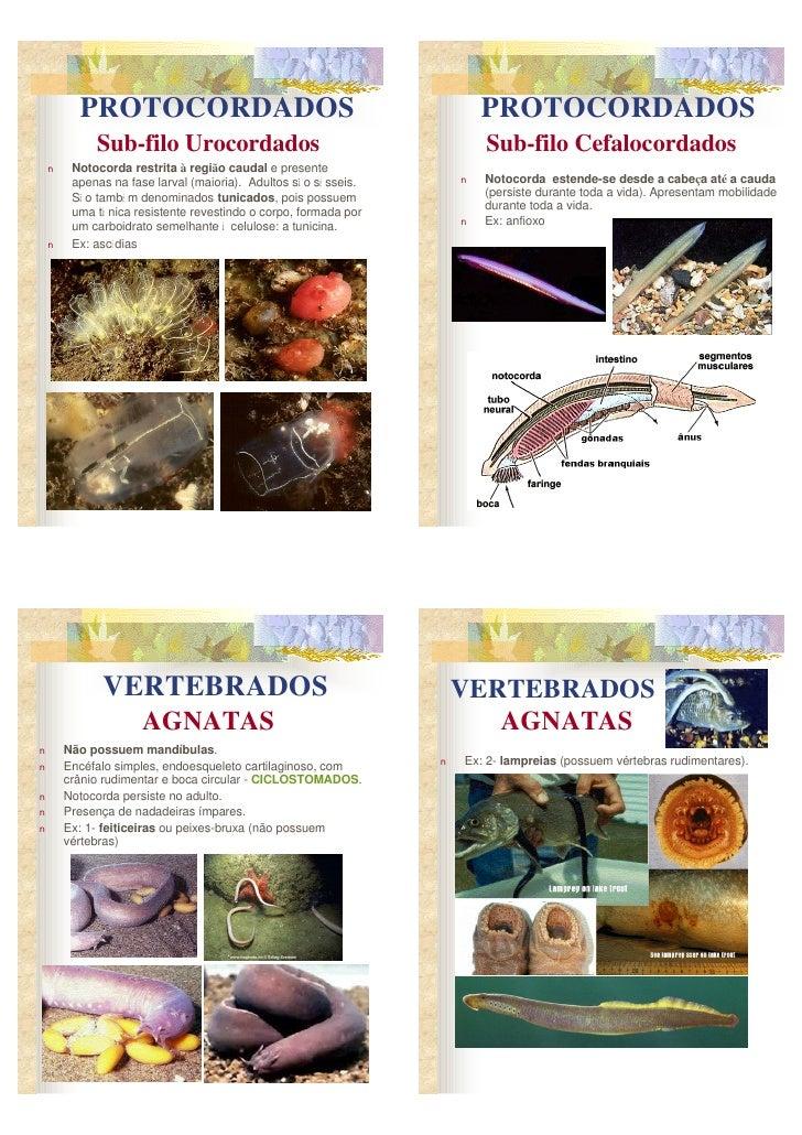 PROTOCORDADOS                                                  PROTOCORDADOS              Sub-filo Urocordados            ...