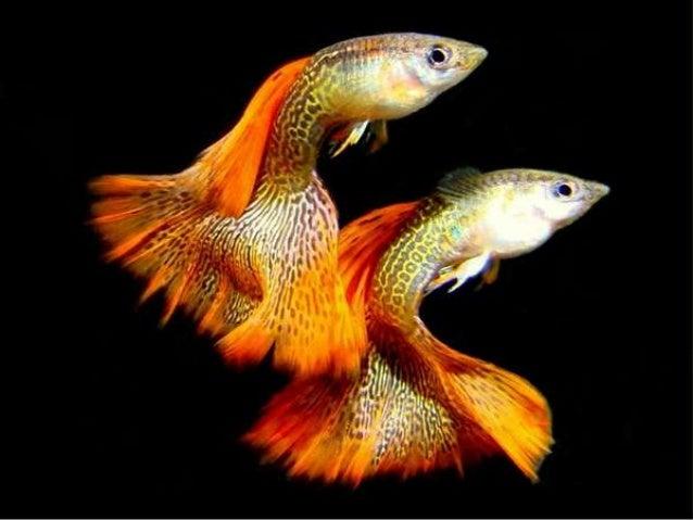 Poeciliidae ou poecilídeo é uma família de peixes de água doce. São conhecidos principalmente por serem ovovivíparos e pel...