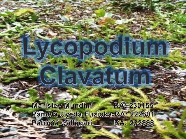 Lycopodium clavatum:   Licófito;   Pertence à família das Lycopodiaceas;   Crescimento ralo e seco, preferem florestas ...