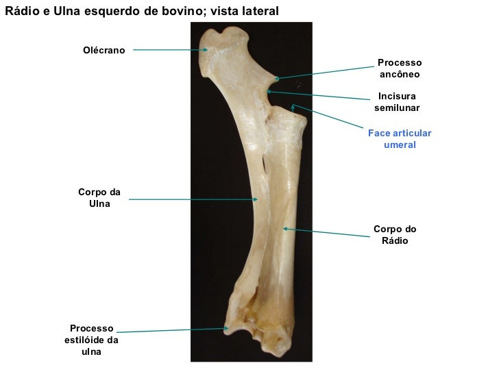 Anatomia Animal Osteologia Pdf Download