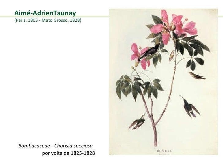 Bombacaceae - Chorisia speciosa por volta de 1825-1828 Aimé-AdrienTaunay  (Paris, 1803 -Mato Grosso, 1828)