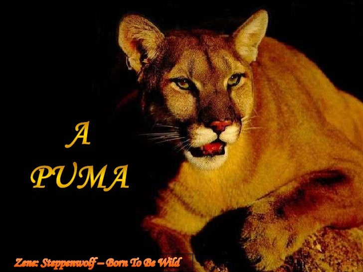 A puma<br />Zene: Steppenwolf – Born To Be Wild<br />